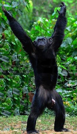 chimp power pose